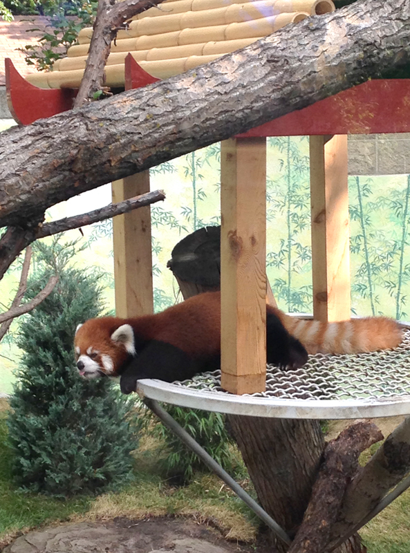 red panda; edmonton zoo